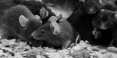 ongediertebestrijding muizen